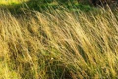 秋天森林下木植被 生长在understory或草丛草本层数的黄色草在森林里 图库摄影