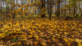 秋天森林下落的槭树和橡木叶子在森林沼地 免版税图库摄影