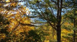 秋天森林冠太阳的杉木和落叶树的树干 黄色,绿色,桔子叶子 免版税库存照片
