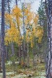 秋天森林和加拿大桦 免版税库存照片