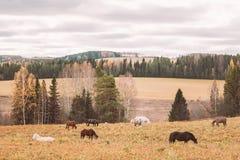 秋天森林和走的马在领域 库存照片