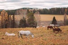 秋天森林和走的马在领域 免版税库存照片