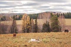秋天森林和走的马在领域 免版税库存图片