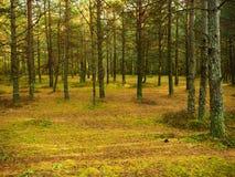 秋天森林在10月 免版税库存图片