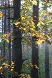 秋天森林在晴朗的早晨 免版税库存图片