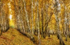秋天森林太阳光芒在森林里 库存图片