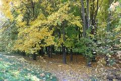 秋天森林是美丽的在黄色叶子 免版税库存图片