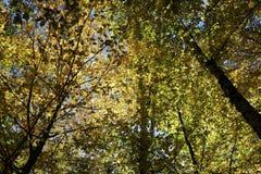 秋天森林是美丽的在黄色叶子 库存图片