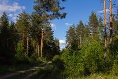 秋天森林本质照片俄国 路在杉木森林里 图库摄影