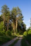 秋天森林本质照片俄国 路在杉木森林里 免版税库存照片