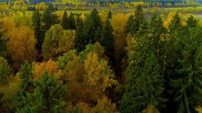 秋天森林橙黄色红颜色鸟瞰图直升机寄生虫在俄罗斯 股票录像