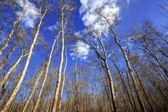 秋天森林的光秃的树 免版税库存图片