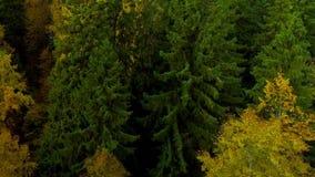 秋天森林秋天明亮的黄色颜色空气鸟瞰图直升机寄生虫在俄罗斯 股票录像