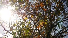秋天森林系列-轻轻地摇摆在与电影透镜火光的风的美丽的灌木 股票视频