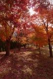 秋天森林红色结构树 库存图片