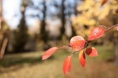秋天森林被弄脏的背景前景的是有橙色叶子的枝杈 免版税图库摄影