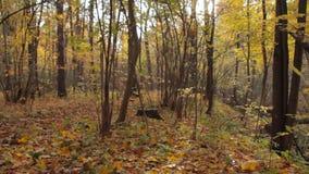 秋天森林,在地面上的黄色叶子,行动照相机观点 股票录像