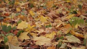 秋天森林,在地面上的黄色叶子 股票视频