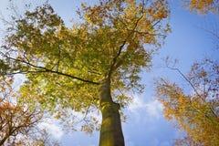 秋天森林,山毛榉森林 免版税库存图片