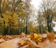 秋天森林,槭树 库存照片