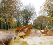 秋天森林,槭树 免版税库存照片