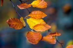 秋天森林,橙色秋天颜色,在橙色和棕色或者金黄颜色的叶子 免版税库存图片