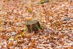 秋天森林,橙色秋天颜色,在橙色和棕色或者金黄颜色的叶子 图库摄影