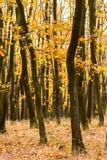 秋天森林,橙色秋天颜色,在橙色和棕色或者金黄颜色的叶子 库存照片
