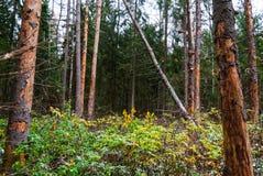 秋天森林,高大的树木,下落的杉木 库存照片