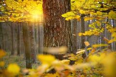 秋天森林,黄色离开在日落 免版税库存照片
