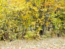 秋天椴树 库存照片