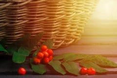 秋天概念用在木桌的花楸浆果在柳条后面 库存照片