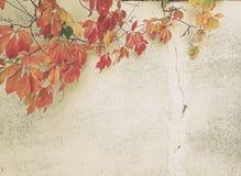 秋天概念背景葡萄酒样式图象 在a的狂放的葡萄 免版税库存照片