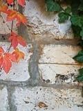 秋天概念背景 在难看的东西白色石头w的狂放的葡萄 免版税库存图片