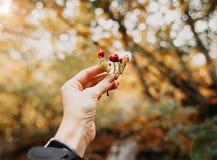 秋天概念:拿着红色莓果的女性手在秋天森林,美好的bokeh,晴朗的秋天天里 关闭 免版税库存照片