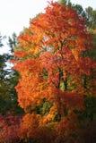 秋天槭树俄国 库存照片
