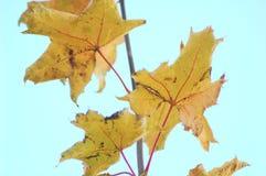 秋天槭树分支与金黄叶子的在明亮的天空的背景 库存图片