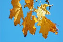 秋天槭树分支与金黄叶子的在明亮的天空的背景 免版税库存照片