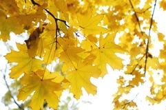 秋天槭树分支与金黄叶子的在明亮的天空的背景 库存照片