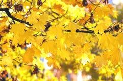 秋天槭树分支与金黄叶子的在明亮的天空的背景 免版税库存图片