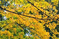 秋天槭树分支反对与黄色叶子的天空 库存图片