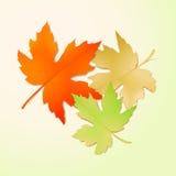 秋天槭树叶子。传染媒介例证 库存图片