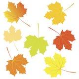 秋天槭树叶子。 免版税库存图片
