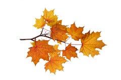 秋天槭树叶子分支  免版税图库摄影