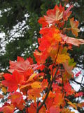 秋天槭树叶子分支  库存照片