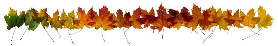 秋天槭树叶子变动行 图库摄影