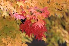 秋天槭树叶子变动颜色 库存照片