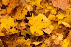 秋天槭树叶子在公园 库存图片