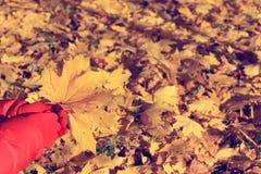 秋天槭树叶子在手中 免版税库存照片