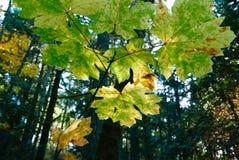秋天槭树叶子在森林里 库存照片